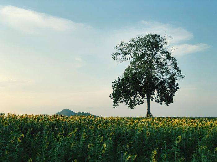 A big tree with sunflowers field on blue sky EyeEm Selects Growth Plant Sky Beauty In Nature Field Land Flower Tranquility Landscape Cloud - Sky Flowering Plant Tranquil Scene Yellow Nature Scenics - Nature Agriculture Rural Scene No People Tree Environment