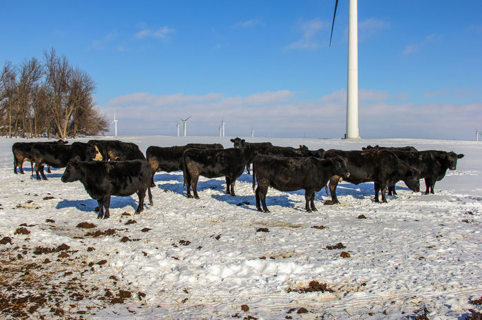 Agriculture Animal Bare Tree Beef Cattle Black Black Angus Blue Sky Canon60d Canonphotography Cattle Cow Herd Cows Day Domestic Animals Farm Field Livestock Outdoors Ranch Sky Wind Power Wind Turbine Windmill Winter