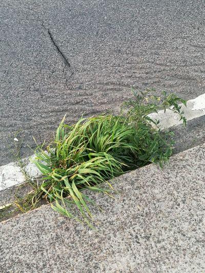 Plant Grass Tomatenpflanze Tomato Streetphotography Street asphalt Natur Road Strassenpflanzen streettomato
