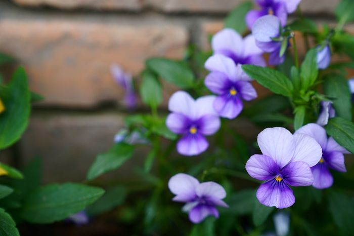 Flower Petal Fragility Freshness Beauty In Nature Nature Growth Plant Flower Head Purple No People Leaf Blooming Periwinkle Close-up