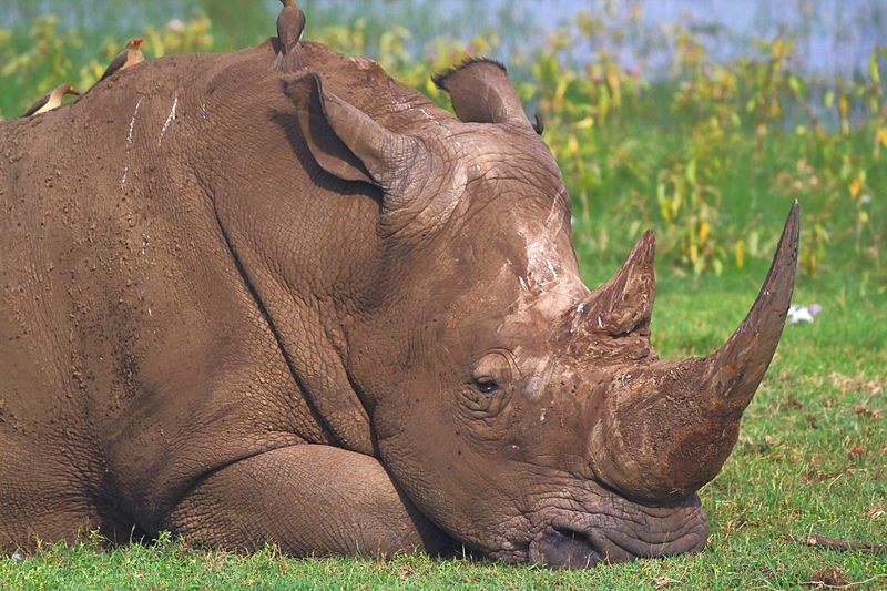Rhinoceros Rhino Save The Rhino Rickeherbertphotography Travel Photography Lake Nakuru Rhino Resting Kenya