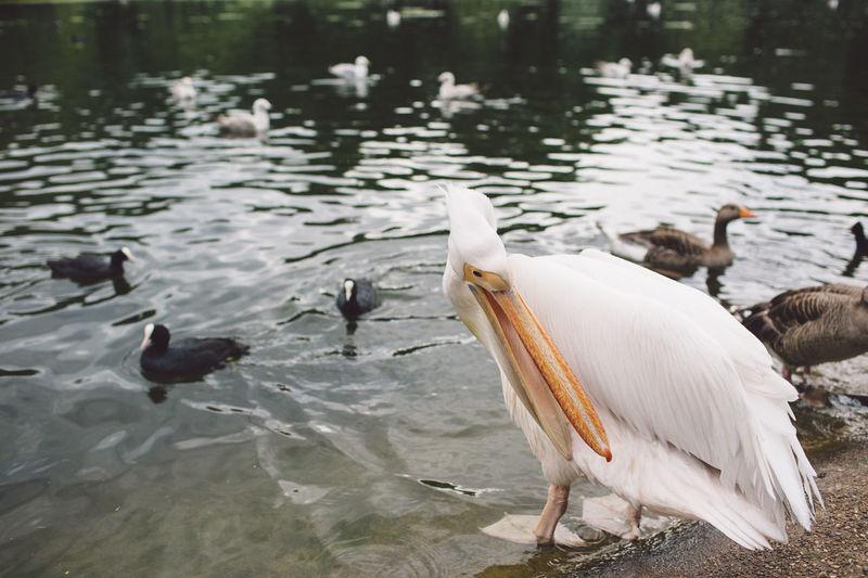 Pelican swimming in lake