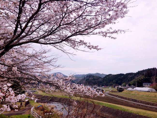 Japan Cherry Blossom Flower Beautiful Blossom Sakura Japanesevillege Japan Photography Cherry Blossoms Spring Sakura