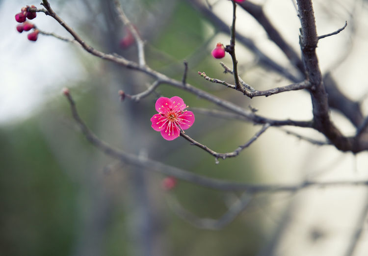 Plant Growth Flower Close-up Branch Focus On Foreground Beauty In Nature Selective Focus Freshness Flowering Plant Tree Fragility Pink Color No People Nature Vulnerability  Day Twig Outdoors Petal Flower Head Springtime
