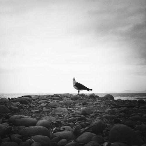 Walking Around Beach Bird Black And White Late Upload Miraflores KCe