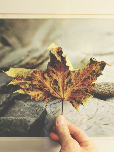 Close-up of hand holding maple leaf