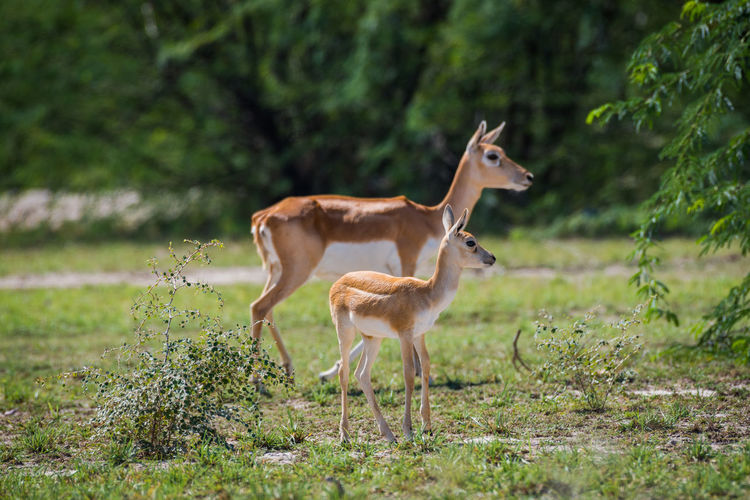 Deer standing with fawn on land
