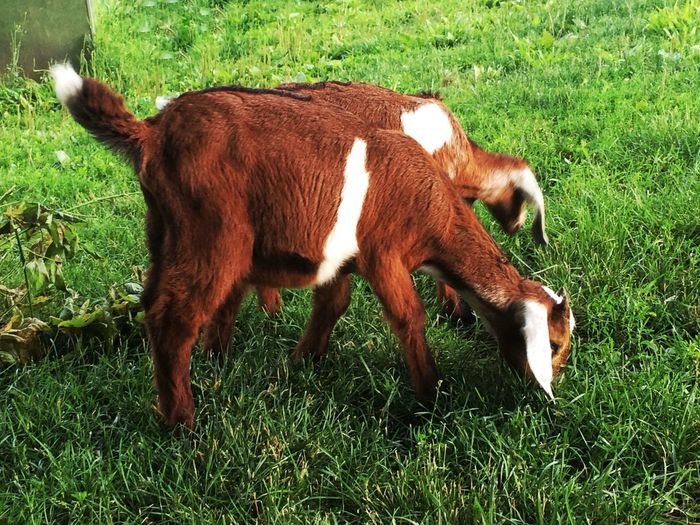 Baby Nubian dairy goat Grass One Animal Animal Themes Domestic Animals Field Mammal No People Day Full Length Outdoors Green Color Livestock Nature Close-up Farm Life Dairy Goat Dairy Farm Animals Goats Goat Kid Goat Baby Goat Baby Goats Kid Grazing