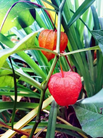 Leaf Fruit Red Close-up Plant Green Color Food And Drink