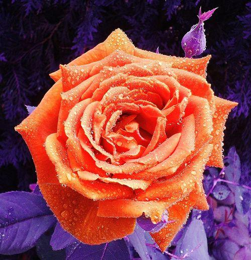 Roses Are Orange Rose🌹 Wet Rose