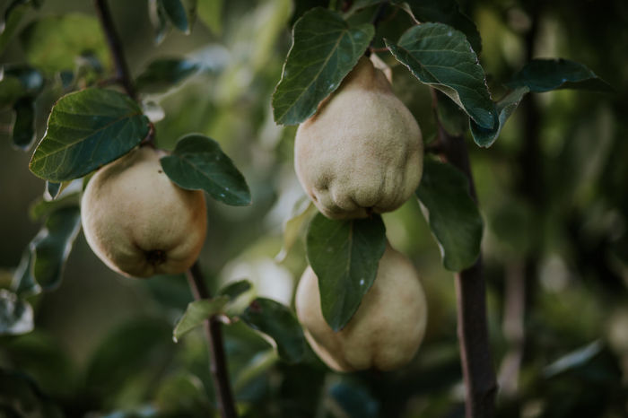 Cydonia Oblonga Deciduous Tree Rosaceae Beauty In Nature Branch Day Deciduous Food Food And Drink Freshness Fruit Green Color Growing Growth Healthy Eating Leaf Nature No People Outdoors Plant Quince Quince Tree Tree Unripe Food Stories
