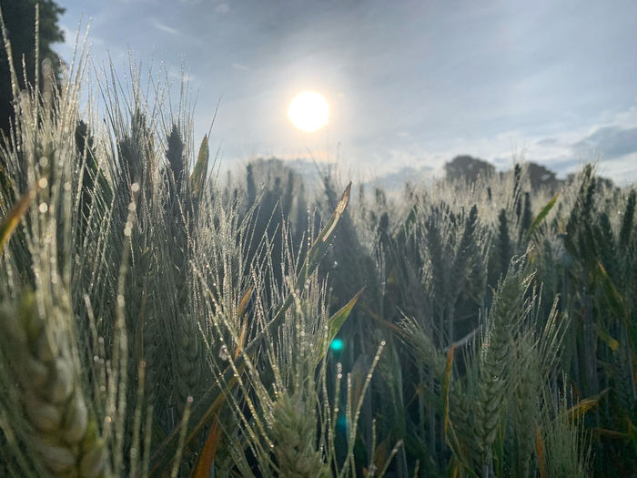 View of stalks in field against bright sun