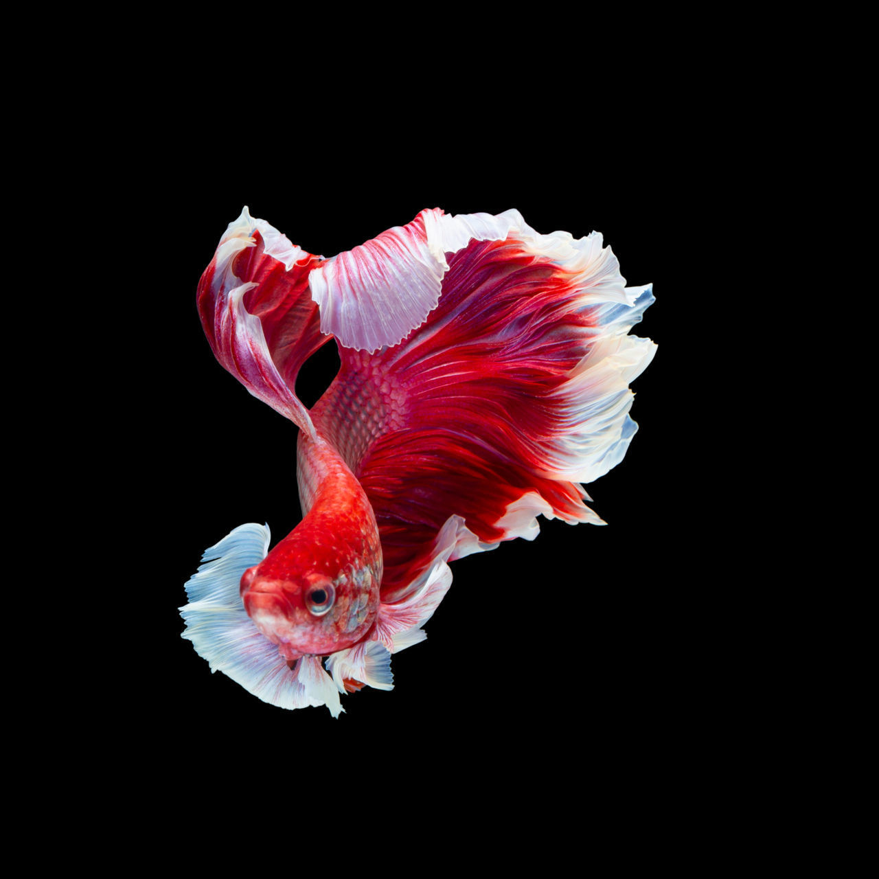studio shot, black background, animal, vertebrate, animal themes, indoors, fish, one animal, cut out, pets, copy space, close-up, animals in the wild, animal wildlife, swimming, domestic, nature, red, no people, sea, marine, flower