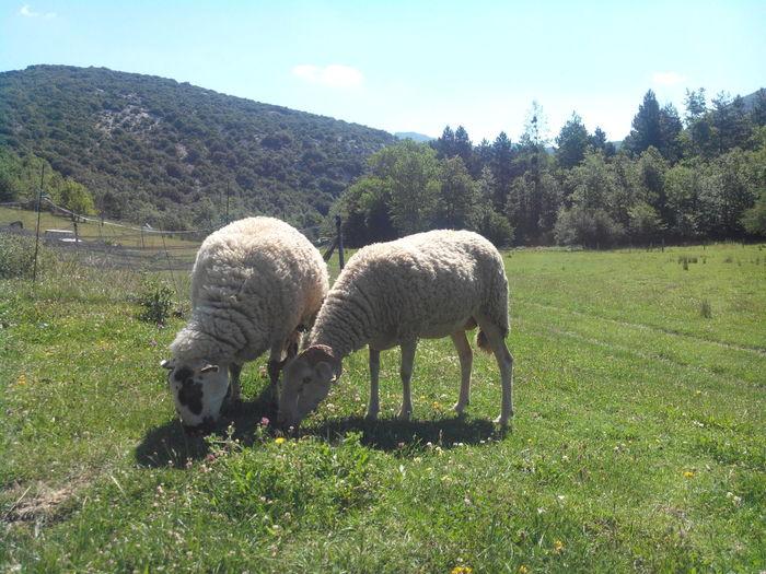 À proximité de Camps sur l'Agly Montagne Moutons Mountains Sheep