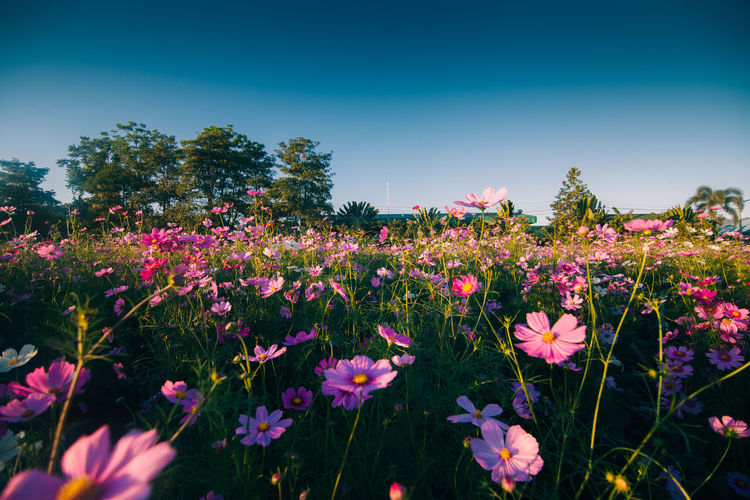Pink Cosmos Flower Flower Flowering Plant Beauty In Nature Sky Plant Growth Freshness No People Field Nature Vulnerability  Outdoors Landscape Field Sky And Clouds Meadow Poppy Flowers Blue Bloom Cosmos Flower Fresh Garden Colorful