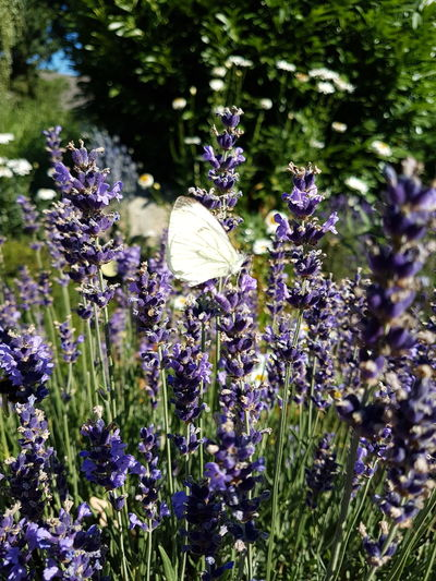 Close-up of butterfly pollinating on purple flowering plants
