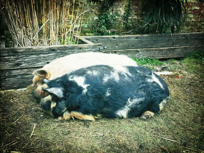 The pigs of Arundel castle. A snorting shuffling delight...