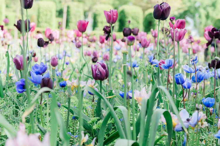Tulips of Holland Flowering Plant Flower Plant Vulnerability  Freshness Beauty In Nature Growth Fragility Selective Focus Close-up Purple Nature No People Day Petal Plant Stem Land Inflorescence Outdoors Tulips Holland Tulips🌷