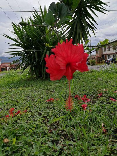Flower Petal Beauty In Nature Red Color Vibrant Color Amapola Flower