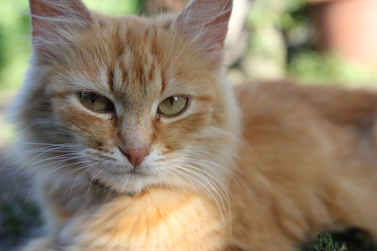Sceptic looking cat. Animal Themes Cat Close-up Day Domestic Animals Domestic Cat Feline Feline Portraits Focus On Foreground Ginger Cat Looking At Camera Mammal No People One Animal Outdoors Outside Pets Portrait Whisker