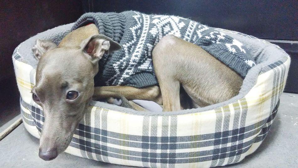 Photostudio Tel Aviv Итальянскийгрейхаунд Greyhound ливретка Israel Dog Fashion Mstudio Photography фототуры тель-авив эдуардштерн