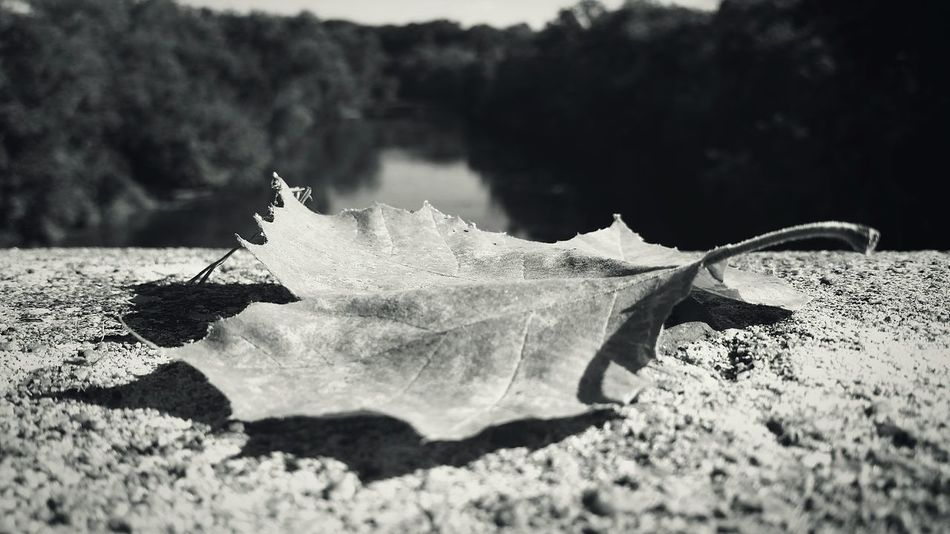 Blackandwhite Season  Nature Leaf Close-up Close Up Focus On Foreground Scenics Tranquility Water Perspective Autumn Fall Looking At Things Differently Picsart_family Conococheague Creek Maryland USA Monochrome Photography The Premium Collection The EyeEm Collection
