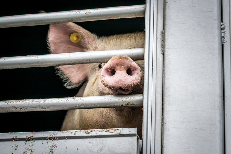 Animal Animal Themes Cage One Animal Animals In Captivity Mammal Vertebrate Trapped Animal Body Part No People Metal Domestic Close-up Domestic Animals Pig Snout Pets Nose Outdoors Animal Head  Suffering