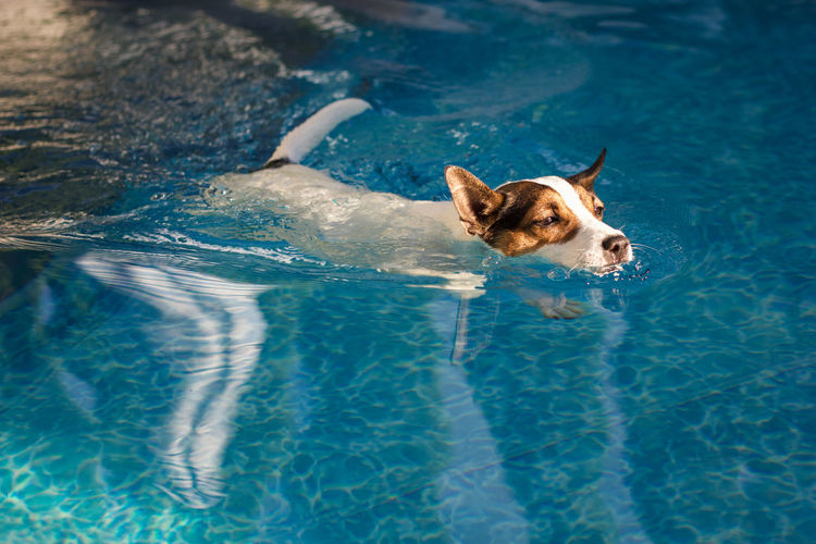 Young jack russell terrier dog swimming in a backyard swimming pool in the glow of afternoon  sun