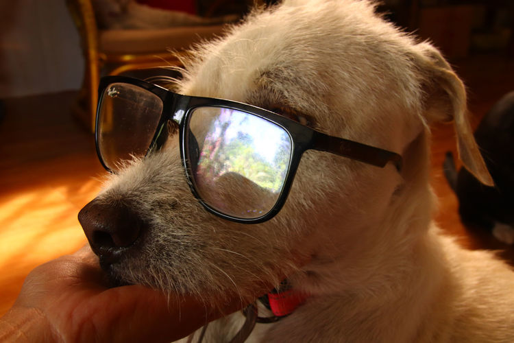 Close-up of dog with sunglasses