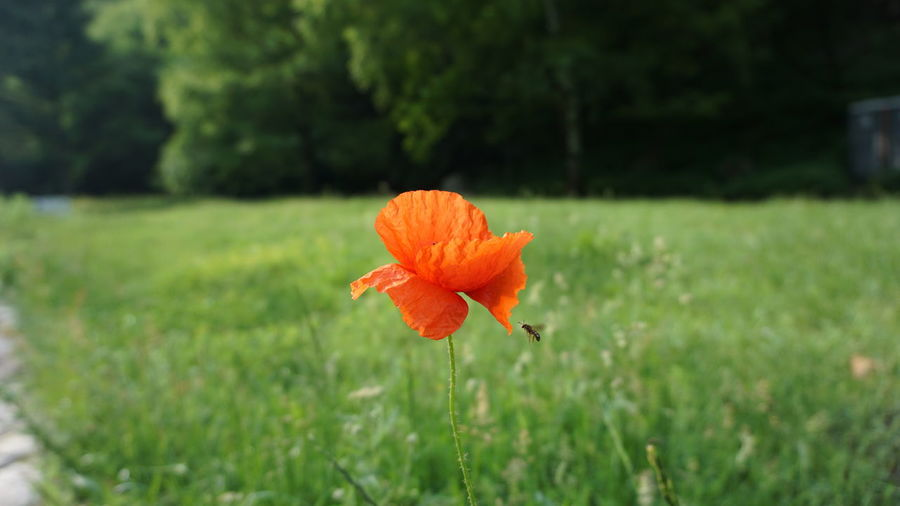 Close-up of orange poppy blooming on field