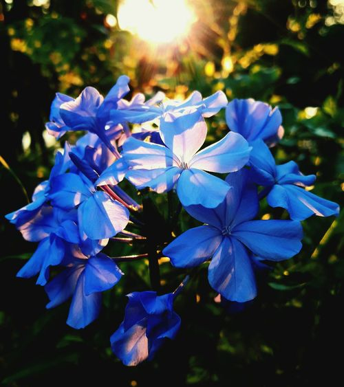 flower sunset beuaty in nature Thailand 2018 Flower Leaf Blue Tree Beauty Summer Autumn Close-up The Still Life Photographer - 2018 EyeEm Awards The Portraitist - 2018 EyeEm Awards The Fashion Photographer - 2018 EyeEm Awards The Great Outdoors - 2018 EyeEm Awards The Street Photographer - 2018 EyeEm Awards The Traveler - 2018 EyeEm Awards The Creative - 2018 EyeEm Awards The Photojournalist - 2018 EyeEm Awards The Architect - 2018 EyeEm Awards World Cup 2018 Creative Space EyeEmNewHere