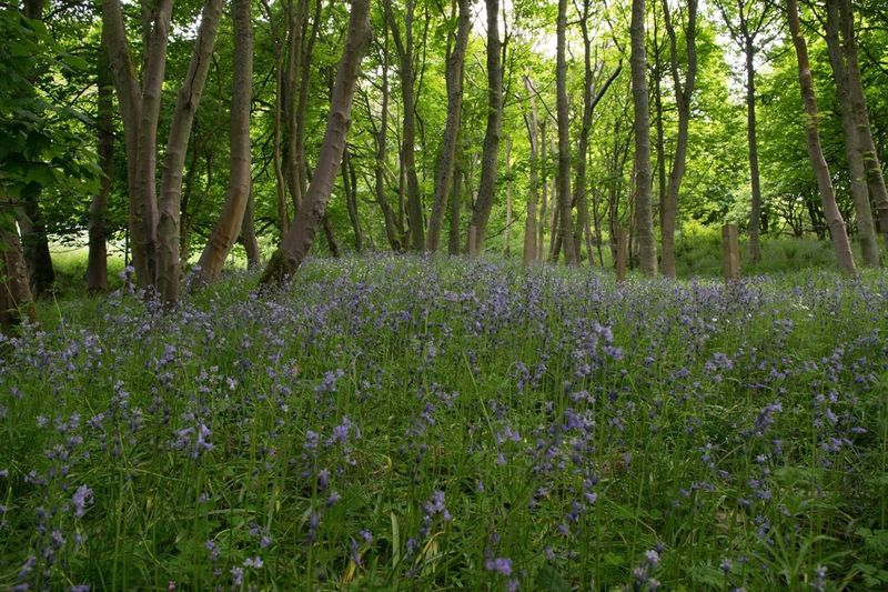 Nature Flower Outdoors Growth Purple Wildflower Tree Green Color Forest Summer Beauty In Nature Plant No People Uncultivated Tranquility Landscape Day Fragility Grass Scenics Tranquility WoodLand Countryside Wildlife Bluebell