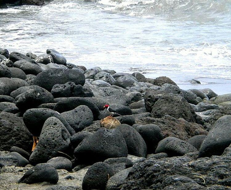 Kona Hawaii Ocean Native Birds Travel Vacation Snapshots Of Life Moments-2015 Eyeem Awards The Great Outdoors - 2015 EyeEm Awards The Traveler - 2015 EyeEm Awards Capture The Moment