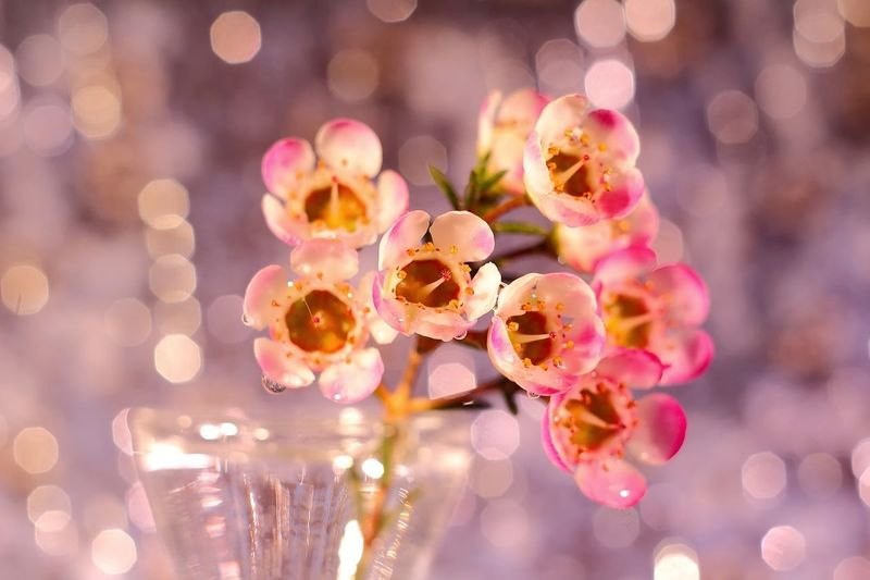 Close Up Of Pink Waxflowers In Vase
