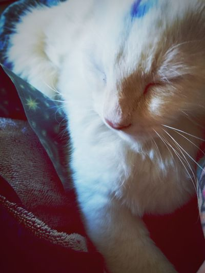 my Alaska #fur Babies #whitecat #mybabykittie EyeEmNewHere #AlaskaVioletJinx #filters #cutekitty Lovecats❤️ Blessedandthankful Pets Domestic Cat Feline Close-up Sleeping Whisker Cat Napping At Home Home Kitten Animal Face Pet Bed A New Beginning The Modern Professional