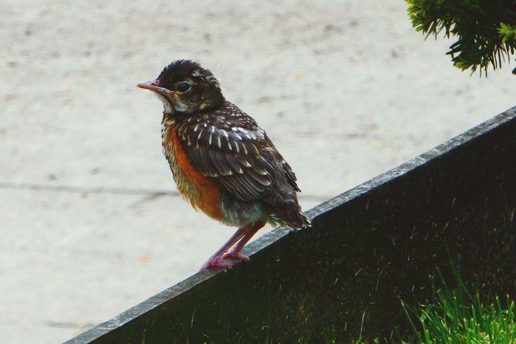 Bird Photography Animal Robin Young Robin Robin Redbreast Bird Perching Full Length Close-up