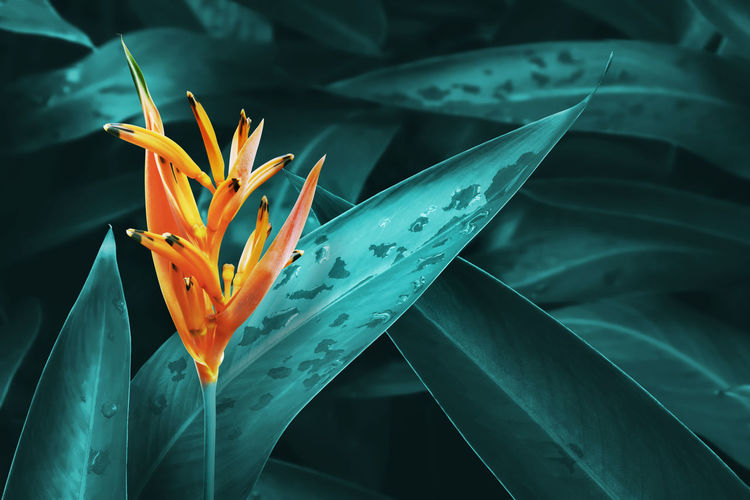 Orange heliconia flower with lush leaves background in dark blue green tone color