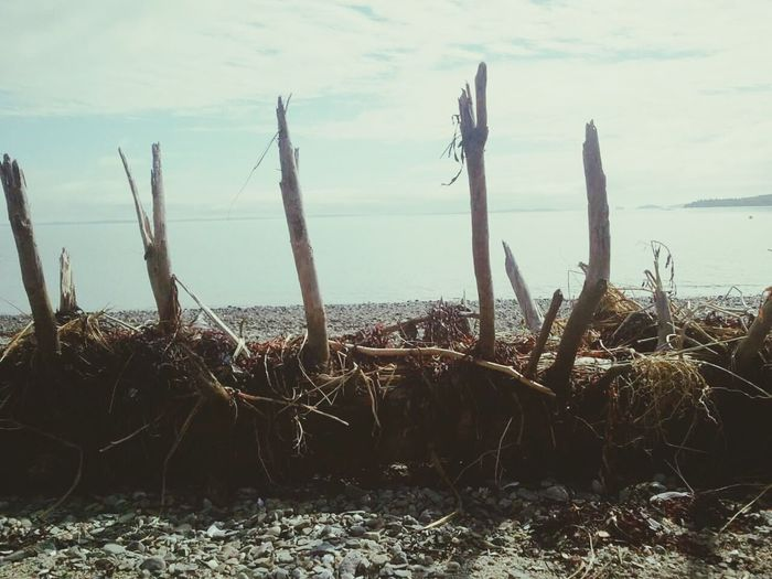 Water Sea Growth Plant Tranquility Tranquil Scene Nature Scenics Sky Dead Plant Cloud - Sky Non-urban Scene Shore Dried Plant Beauty In Nature Day Outdoors Uncultivated Thorn Driftwood Drift Wood  Driftwood Beach Beach Photography Beach Ocean View Ocean Photography