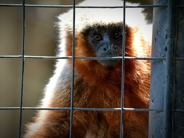 Cage One Animal Animals In Captivity Metal Animal Themes Monkey Prison No People Close-up Primate Outdoors Animal Wildlife Eyes Eyeemphotography
