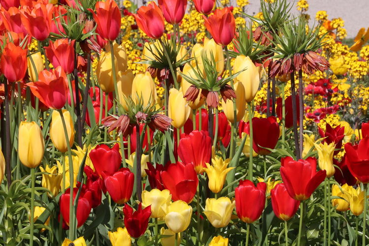 Beauteous Magnificent Beauty In Nature Blooming Day Flower Flower Head Fragility Freshness Growth Multi Colored Nature No People Outdoors Petal Plant Red And Yellow Tulip Variation Yellow
