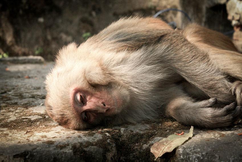 Travel Travel Photography Traveling Travelling Travelphotography Nepal Kathmandu Kathmandu, Nepal Monkey Monkeys Monkey Temple Sleeping Sleeping Monkey Still Life Animals Things I Like