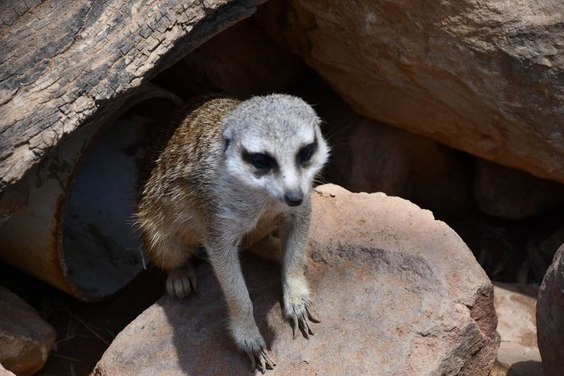 EyeEm Selects Animal Themes Animal Animal Wildlife Animals In The Wild Mammal One Animal Nature No People Sunlight Meerkat Day Solid Outdoors Rock - Object Rock Animals In Captivity Zoology Zoo
