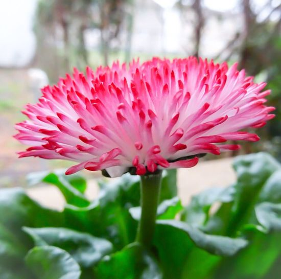 Flower Fragility Nature Freshness Petal Beauty In Nature Growth Flower Head Close-up Focus On Foreground Blooming Plant No People Pink Color Outdoors Day Whitepinkflowerhead