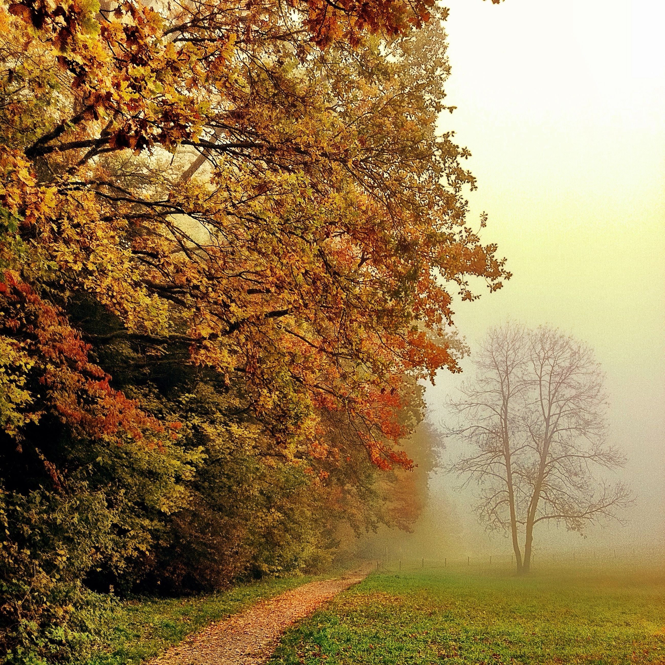 tree, fog, foggy, tranquility, tranquil scene, nature, growth, field, landscape, beauty in nature, weather, scenics, season, branch, non-urban scene, grass, outdoors, day, autumn