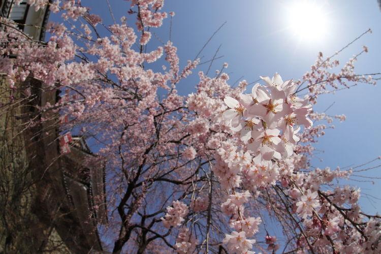 垂れ桜が咲いてたよー🌸😆長野はこれから😝 一目惚れんず Nature Nature Photography Cherry Blossoms 桜 Tree Flower Flower Head Branch Clear Sky Springtime Pink Color Blossom Blue Sky