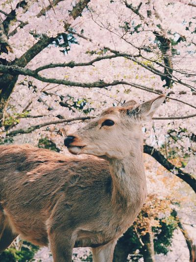 Nara EyeEm Nature Lover EyeEm Deer Plant Tree Nature Day No People Animal Mammal Animal Wildlife Animals In The Wild Animal Themes