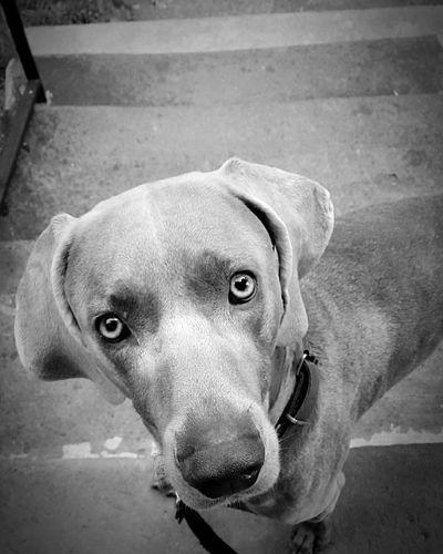 Love Fido First Eyeem Photo Weimaraner Shades Of Grey