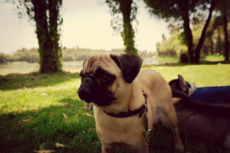 Pug DogLove Bosque De Tlahuac