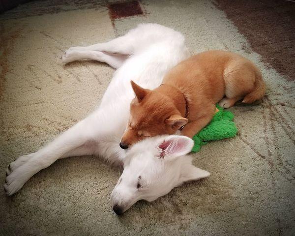 Sleeping puppies Puppies American Eskimo Shiba Inu Cute Pets