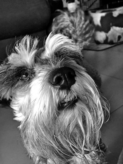 The love of my heart😇❤ Friendship. ♡   Love Puppy Love Bestfriends Schnauzer Lovelovelove Cute Pets Cuteness